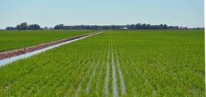 RICE-FARMING